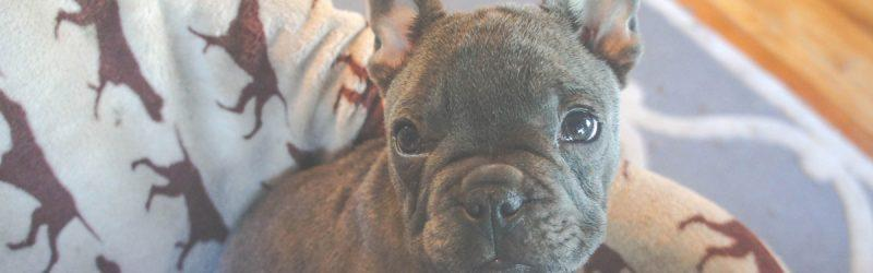 An adorable gray French Bulldog puppy sitting in a dog bed on hardwood floor looks at the camera with perked up ears